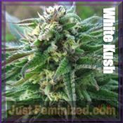 Advanced Seeds White KushMarijuana seeds Feminized